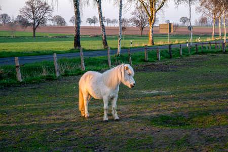 Schöne weiße Ponny bei Sonnenuntergang in Deutschland Europa Standard-Bild