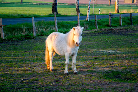 beautiful white ponny at sunset in Germany Europe