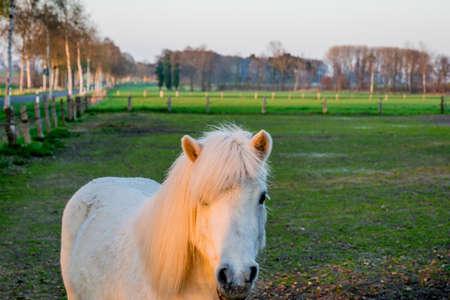 Schöne weiße Ponny bei Sonnenuntergang in Deutschland Europa