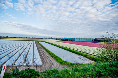 bulb fields: colorful flower field in Netherlands with sky background