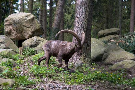 capricornio: Brown muflón en un gran campo verde en Europa