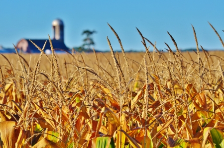 Close-up of corn awns in a cornfield with a barn and silo in the background  photo