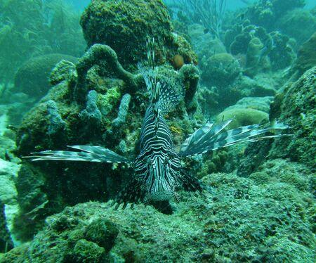sprawled: Un gran pez le�n blanco y negro tumbado encima de un arrecife de coral en el Mar Caribe