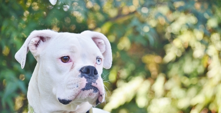 brown eye: Close up of a beautiful, unique looking white boxer dog with one brown eye and one blue eye.  The dog is framed by a background of blurred trees.  Her ears are perked and she is alert to any sounds.  She is looking intently in a direction that indicates s Stock Photo