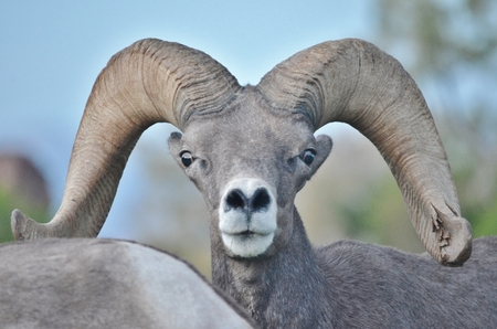 defining: Close up of a male bighorn sheep looking warily toward the photographer.  His horns are large and curved and he is very alert to any danger as he tends to his harem of female sheep.  His nostrils are flared, trying to pick up any defining scent.  The sky