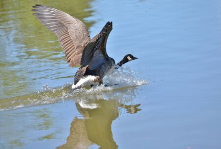 webbed feet: A large Canada goose landing on a calm, pristine lake in the mountains.  The wings are spread to slow its descent and the reflection is shown on the water.  The webbed feet creates a frothy wake as the goose penetrates the lake.