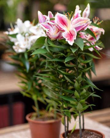 Purple, white Lily Stargazer flower plant
