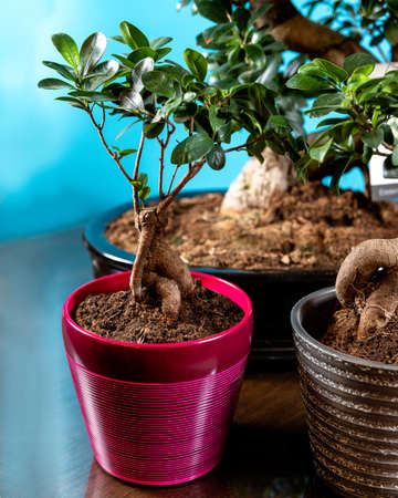 Beautfiul small Serissa Bonsai Tree in purple pot