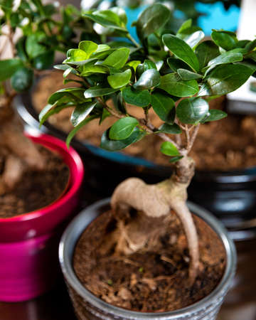 Beautiful small Serissa Bonsai Tree in pot 스톡 콘텐츠