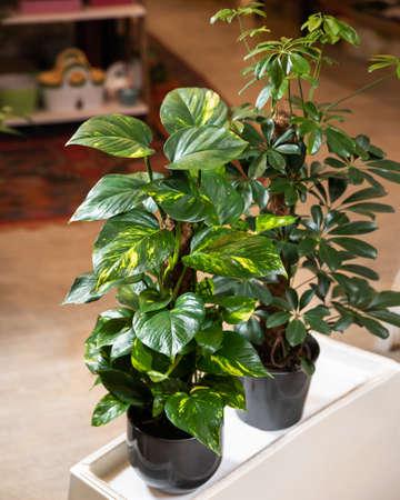Golden Pothos, Devil's ivy, Epipremnum aureum plant with Schefflera, Dwarf umbrella tree