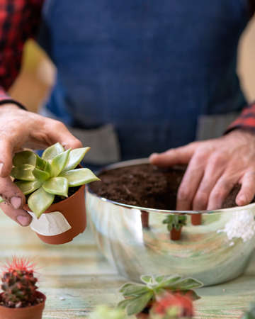 Gardener making, planting terrariums with succulents, cactuses