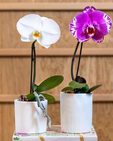 White and pink Phalaenopsis Big Singolo orchid 免版税图像