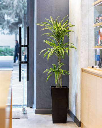 Dracaena fragrans dragon plant in the office Banque d'images - 151144819