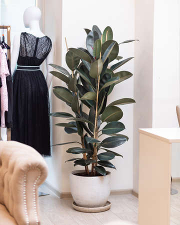 Rubber Plant, Rubber fig, Ficus elastica at the cloth store Banque d'images - 151144820