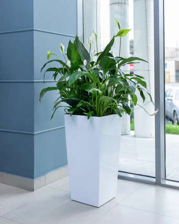 Big Peace Lily plant in white pot at the office Banque d'images - 151144822
