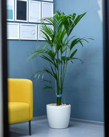 Areca Cane palm Dypsis lutescens, golden cane palm plant in white pot Banque d'images