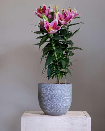 Purple Lily Stargazer flower plant in the silver pot Stock Photo