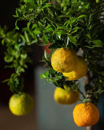 Lemon plant close up with dark background Archivio Fotografico