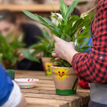 Woman gardener holding a plant root, planting a Peace lily Spathiphyllum