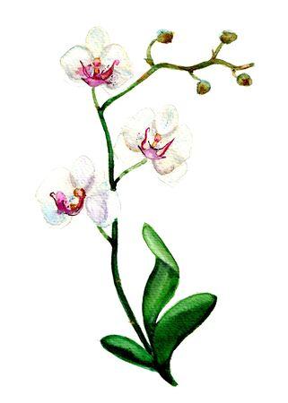 Aquarellillustration weiße Orchidee Nahaufnahme auf weißem Hintergrund für Postkarte, Gruß für Frau, Design, Dekoration
