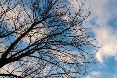 Upward View Bare Treetops in front of cloudy sky