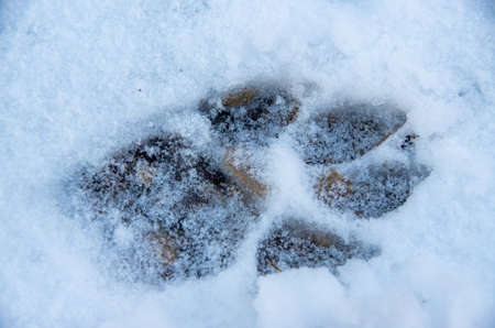 Paw print of a dog in the snow