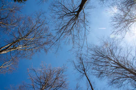 The tops of trees without foliage, rising up against a blue spring sky.