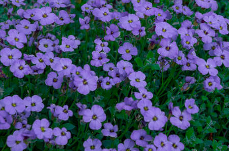 purple moss flowers as a texture or background Zdjęcie Seryjne