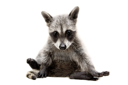 raccoon: baby raccoon - Procyon lotor in front of a white background