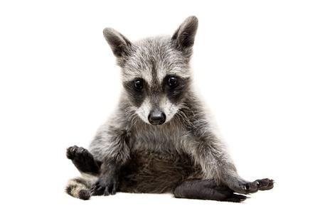 furry animals: bebé mapache - Procyon lotor delante de un fondo blanco