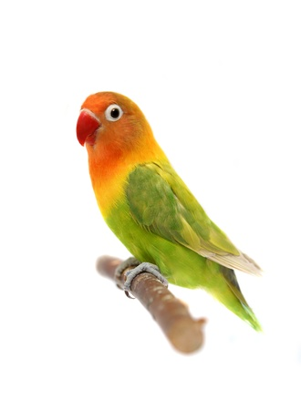 Lovebird isolated on white Agapornis fischer photo