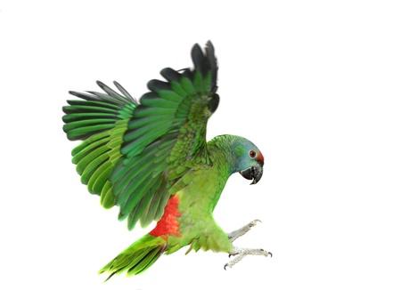 loros verdes: Flying festival de Amazon loro en el fondo blanco Foto de archivo