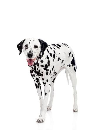 spotty: Beauty dalmatian dog, isolated on white background