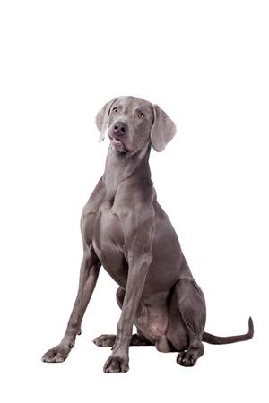 head shots: Funny Weimaraner Dog isolated on white background