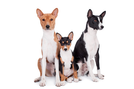 doggy position: Three basenjis (tricolor, black and red color coats)