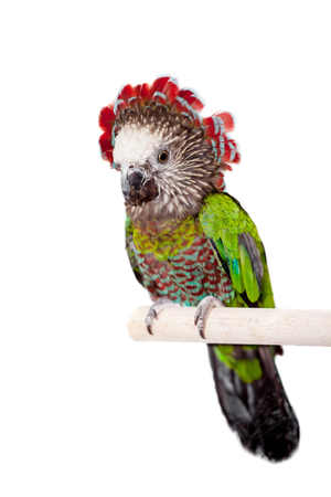 Hawk-headed Parrot (Deroptyus accipitrinus) isolated on white Stock Photo
