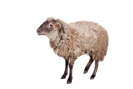 Funny sheep isolated on the white background photo