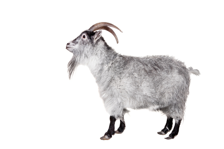 hircus: Portrait Of Goat Isolated On White Background