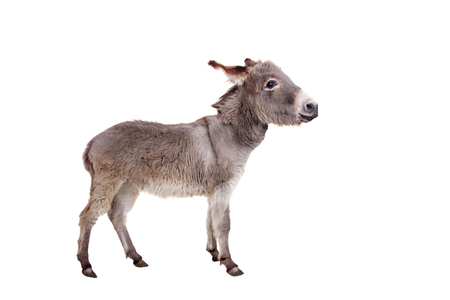 jack ass: Pretty Donkey isolated on the white background