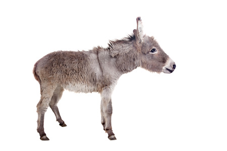 Pretty Donkey isolated on the white background photo