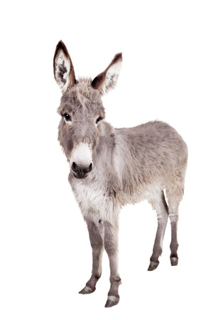 ears donkey: Pretty Donkey isolated on the white background