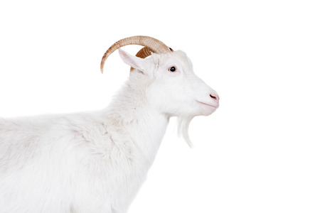 Goat standing up isolated on a white background photo