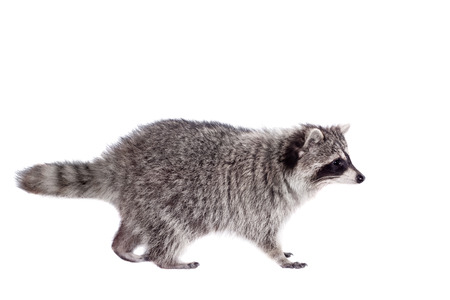 procyon: Raccoon (3 years old) isolated on the white background