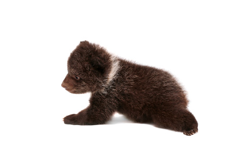 Brown Bear cub, 1,5 mounth old, isolated on white background photo