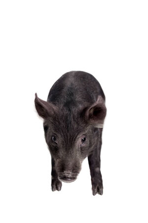 Black piggy isolated on white photo