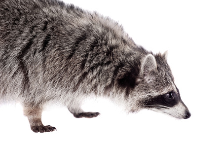 procyon: Raccoon  Procyon lotor  on the white background