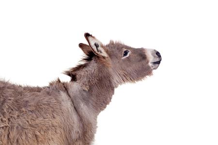 jack ass: Donkey on white