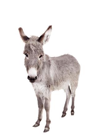big ass: Donkey on white