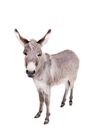 Donkey on white