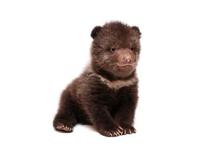 Brown Bear cub, Ursus arctos, on white